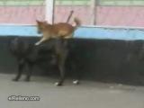 cachorro trepando na cadela - DOGS FUCKING